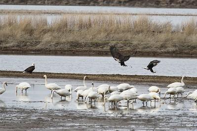Klamath Lake trip birds Jan2016  497