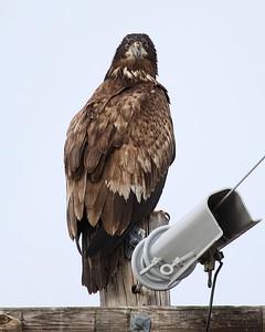Klamath Lake trip birds Jan2016  449