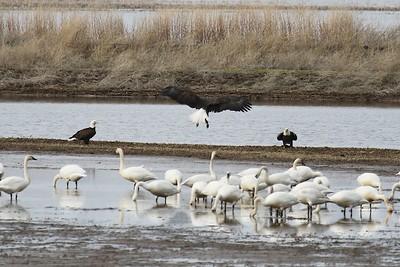 Klamath Lake trip birds Jan2016  496