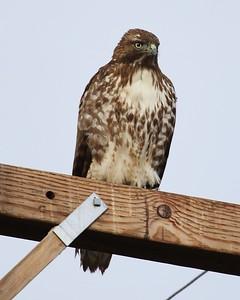 Klamath Lake trip birds Jan2016  415