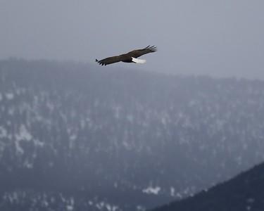 Klamath Lake trip birds Jan2016  476