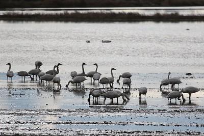 Klamath Lake trip birds Jan2016  513