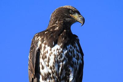 Tule Lake and Lower Klamath eagles