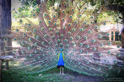 Peacock Display at the Fountain of Youth