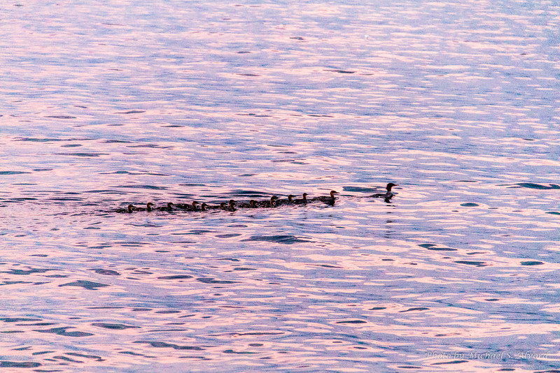 While we were waiting for the fireworks to start family of ducks swam by.