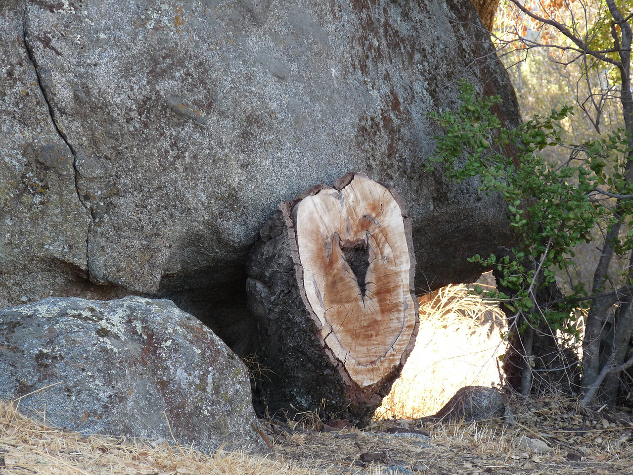 a hear-shaped stump growing right under a huge boulder