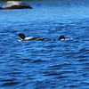 Loon family on Squam Lake, NH