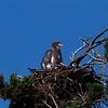 Eaglet on nest on Squam Lake.