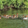 Family of Common Mergansers on Squam Lake. I counted 16 chicks!