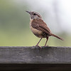 A Carolina Wren hopped up on the deck railing.