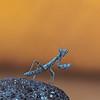 Graue Fangschrecke, (Ameles decolor)