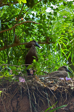 Hammerkop  These birds would launch themselves out over people, skimming inches over our heads. They're not small birds either.