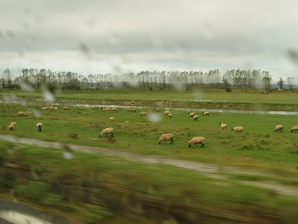 More Sheep (Picture by Jeevan, obviously)