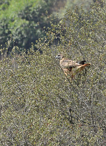 Red Tail Hawk in Rnyon Canyon