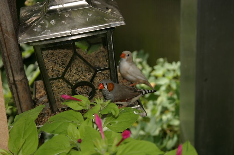 Butterfly House finches