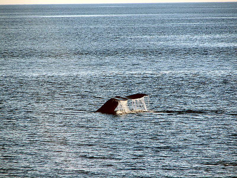 Whale Watching - Humpback