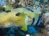 Blotched porcupinefish.