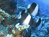 Black Pyramid Butterflyfish