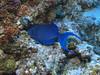 Blue triggerfish.