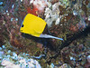 Very-long-nose butterflyfish