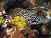 Honeycomb Moray eel.