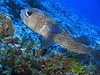 Black-spotted porcupinefish.