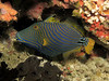 Striped triggerfish.