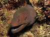 Giant Moray eel.
