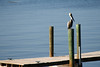 This Pelican visited and fished off our dock every day.