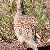 Gray Francolin.  There was a flock of a half-dozen or so on the road around the NW edge of Maui.