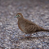 I got bored in the airport at Honolulu and started taking pictures of anything of interest.  Zebra Dove.