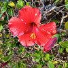 The hibiscus is used as a bush in Hawaii.