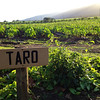 Here is a field full of taro.