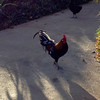 Chickens seemed to be just about everywhere on Maui.