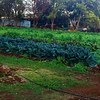 They had a nice garden with kale and basil.  It looks to me like you can grow just about anything in Hawaii.