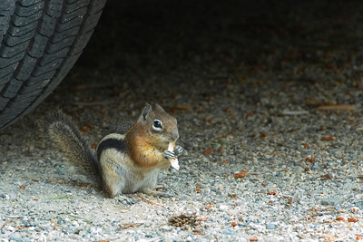 'Chippy' the chipmunk made him/herself at home at our camp.