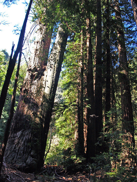 Monday, October 6, visit to Muir Woods on road to Mendocino.