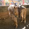 Shaggy Horse