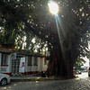 Huge Banyon Tree near El Brujo restaurant.  All the town centre streets are cobbled like this.