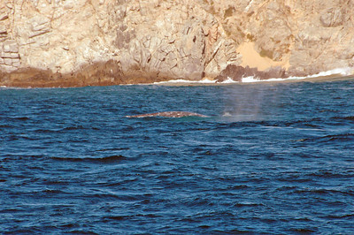 Whale watching in Cabo.  The whales were a little subdued this day - no breeching.  All we got to see was their backs.