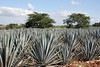 Blue Agave plants near a small roadside Tequila maker.