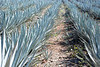 Blue Agave used to make Tequila.