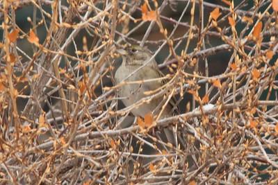 Golden-crowned Sparrow @ Regent Street in Duluth