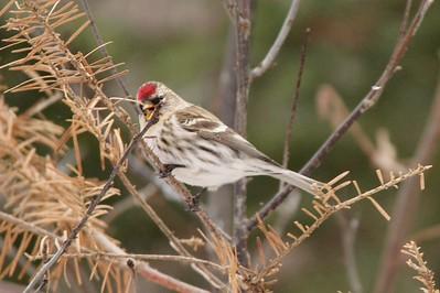 Common Redpoll @ Sax-Zim Bog [Loretta's Feeders on Kelsey-Whiteface Road]