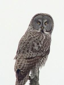 Great Gray Owl @ Sax Zim Bog [Admiral Road feeders]