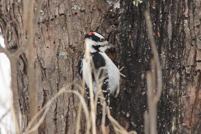 Hairy Woodpecker @ Sax-Zim Bog [Loretta's Feeders on Kelsey-Whiteface Road]