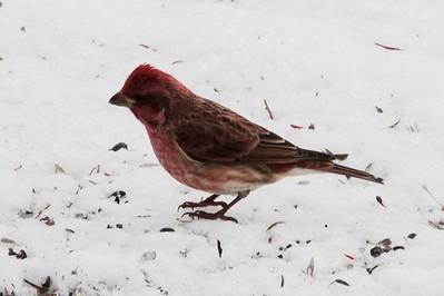 Purple Finch (Male) @ Sax Zim Bog [Visitor Center]