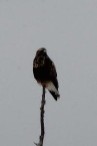 Rough-legged Hawk near Old Vermillion Trail in Duluth