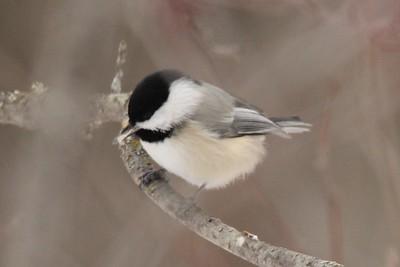 Black-capped Chickadee @ Sax-Zim Bog [Loretta's Feeders on Kelsey-Whiteface Road]