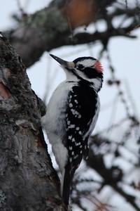 Hairy Woodpecker (Male) @ Regent Street in Duluth